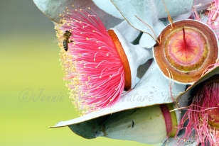 Bee on Eucalyptus macrocarpa