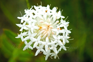 Pimela flower with tiny orange spider