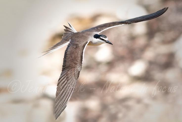 Bridled tern soaring