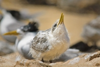 Waiting for food - Crested tern chick