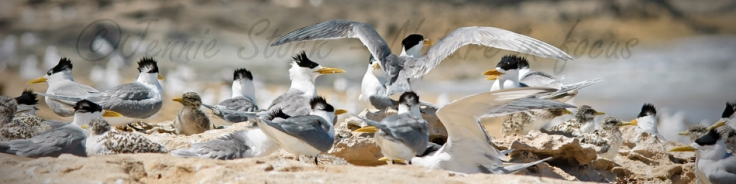Crested tern colony