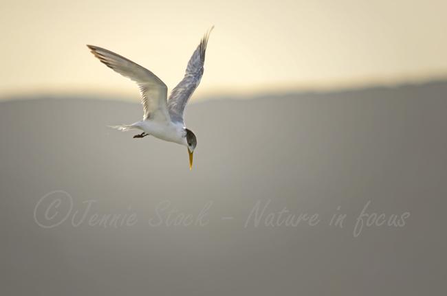 Crested tern hovering - Wilson Inlet, Denmark, Western Australia