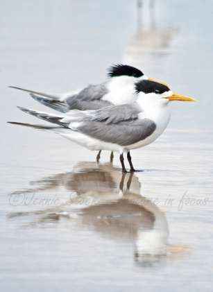Adult Crested tern pair
