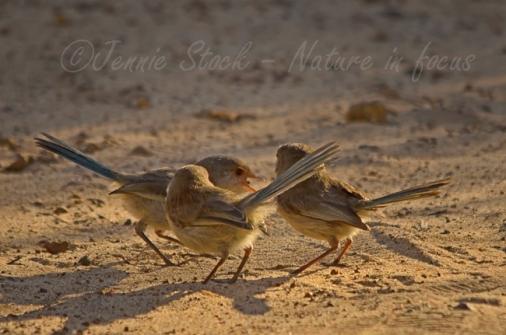 Splendid fairy-wren females in a little huddle, seen on the way to Waterfall Beach.