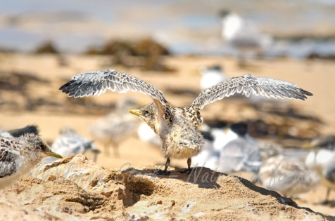 Young Crested tern exercising his wings