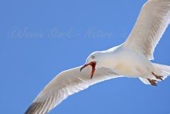 Grumpy Silver gull