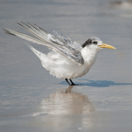 Juvenile crested tern on the beach