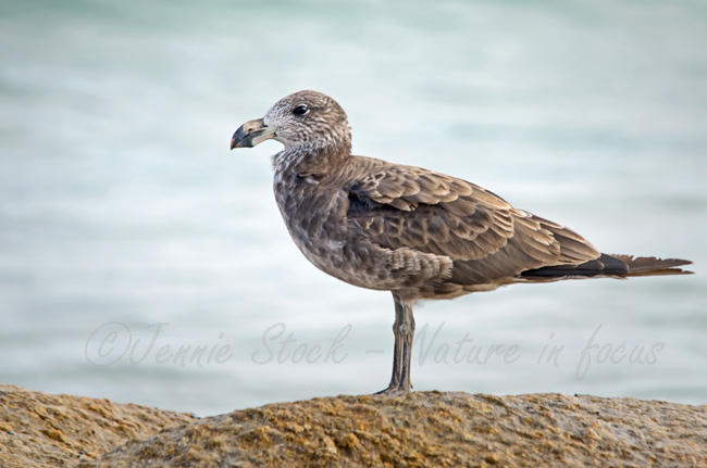 Pacific gull in juvenile plumage, seen at Madfish Bay.