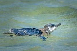 Little penguin fledgling
