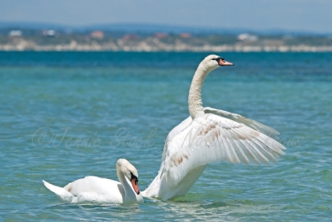Pair of Mute swans at Penguin Island