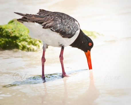 Pied oystercatcher probing wet sand
