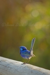 Male Splendid fairy-wren.
