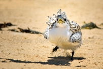 Tern chick on the move