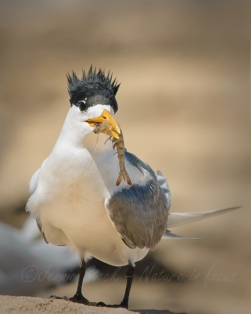 Crested tern with lunch