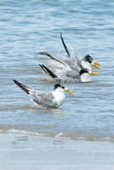 Splashing terns ©Jennie Stock – Nature in focus