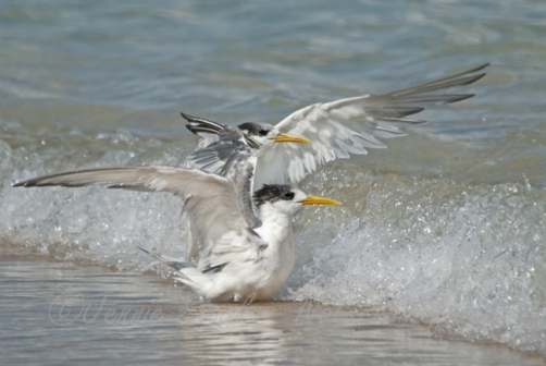 Terns in the waves