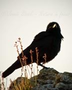 Backlit raven