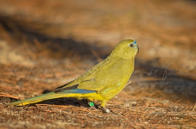 Banded rock parrot
