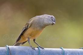 Curious Golden whistler female