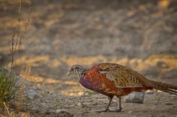 Male pheasant on Rottnest