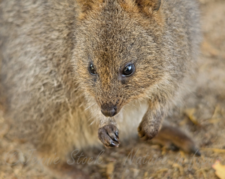 Quokka on Rottnest