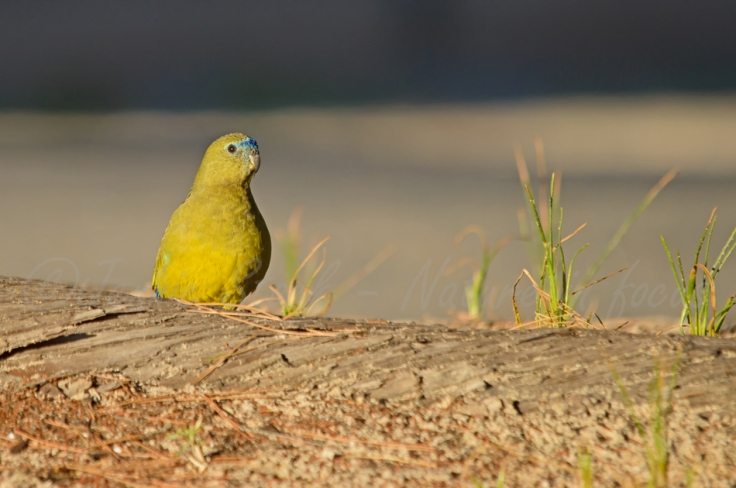 Rock parrot on Rottnest Island