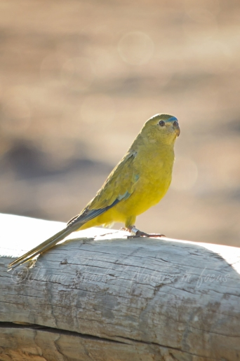 Rock parrot on fence