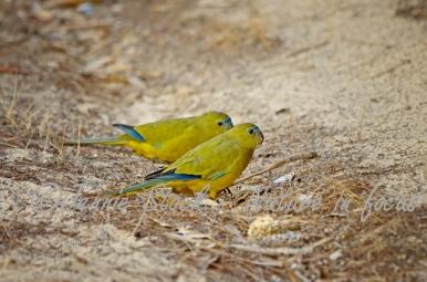 Rock parrot pair