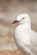 Silver gull portrait