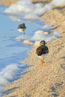 Strolling on the beach - Ruddy turnstone