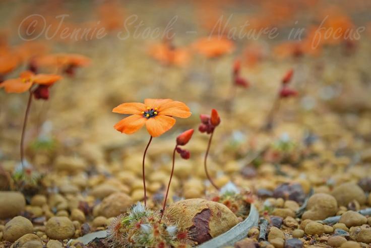 Field of sundew