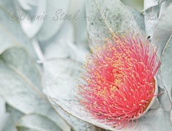 Macrocarpa flower
