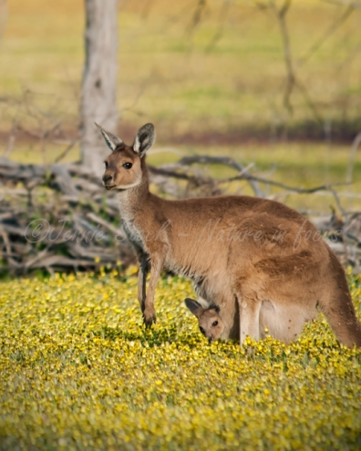 Mum kangaroo with her joey in pouch
