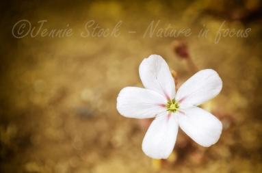 White drosera flower