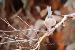 Splendid fairy-wren - eclipse male