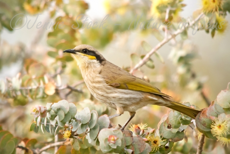 Singing honeyeater on eucalypt ©Jennie Stock – Nature  in focus lg