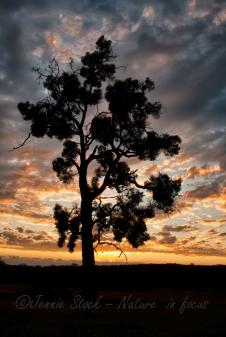 Eucalypt sunset silhouette