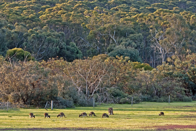 Kangaroos in the paddock