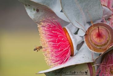 Bee visiting Eucalyptus macrocarpa