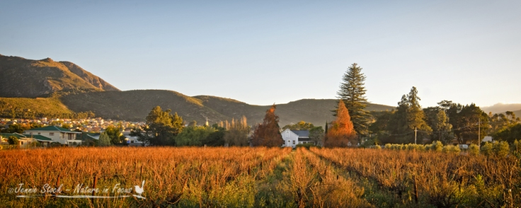 Montagu vineyard at sunrise