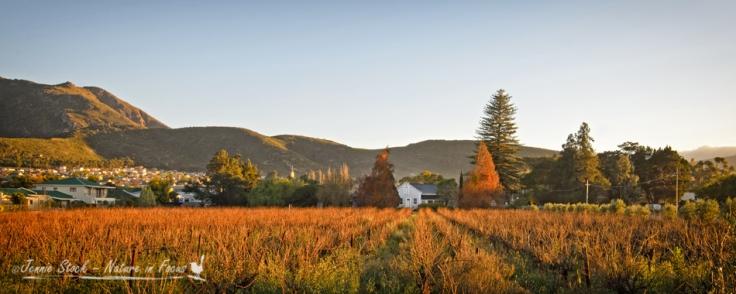 Montagu vineyard at sunrise