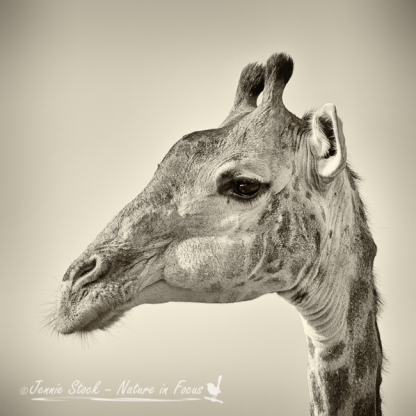 Taken in Kruger in July 2013 - came second in Mono prints in NEPG end of year competition.