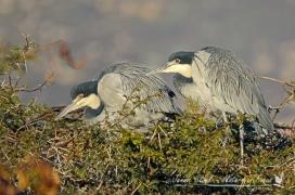 Blackheaded herons at the lei-water dam