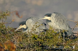Blackheaded herons at the lei-water dam