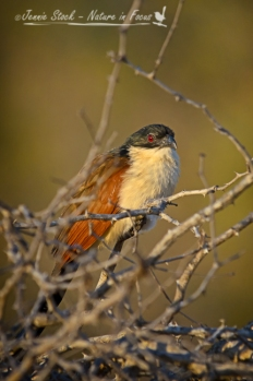 Burchell's coucal in gorgeous light