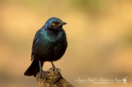 Cape glossy starling in the sunlight at Afsaal