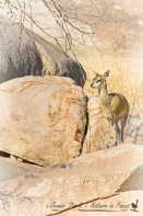 Klipspringer©Jennie Stock – Nature in focus