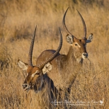 Beautifully posed waterbuck males