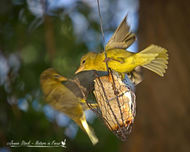 Female Cape weavers squabbling over the bread holder.