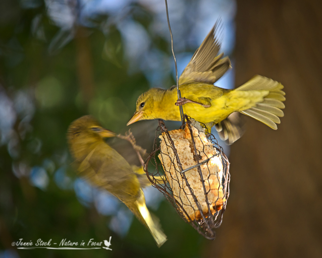 Female Cape weavers squabbling over the bread holder.